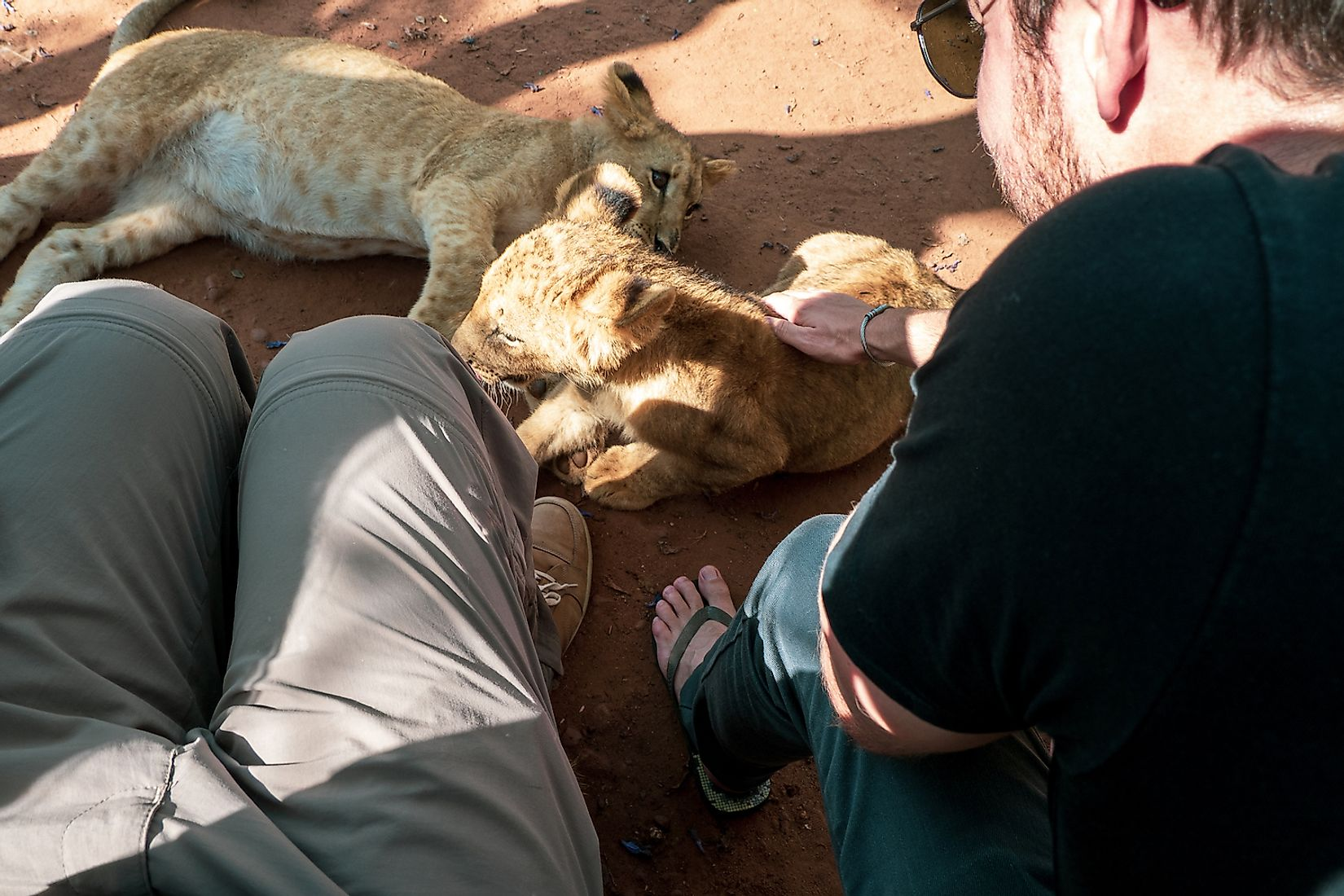 Tourists petting lion cubs at a breeding station in South Africa. Lions in such captive conditions are often exploited throughout their lifetime for commercial gains. Image credit: schusterbauer.com/Shutterstock.com