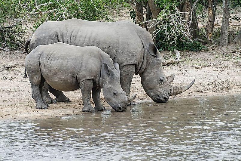 #3 White Rhinoceros
