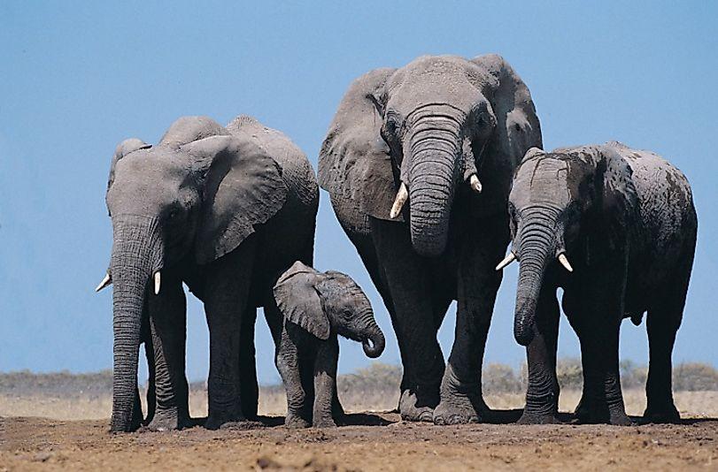 #6 African Elephants