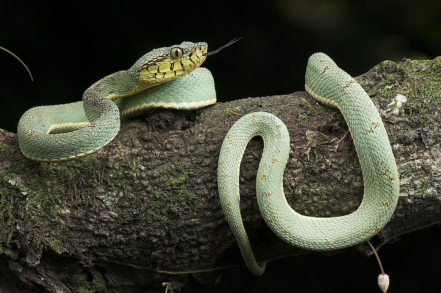 Bothrops bilineatus is a highly venomous pitviper species found in the Amazon. Image credit: Renato Augusto Martins/Wikimedia.org