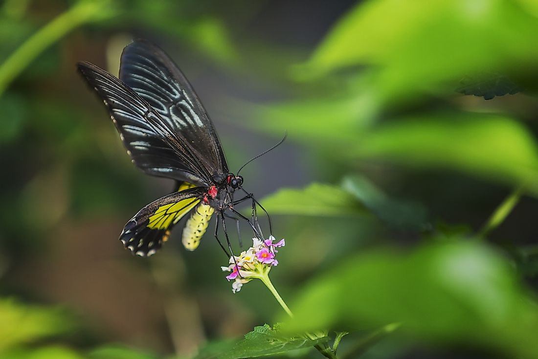 Queen Alexandra's birdwing butterfly.