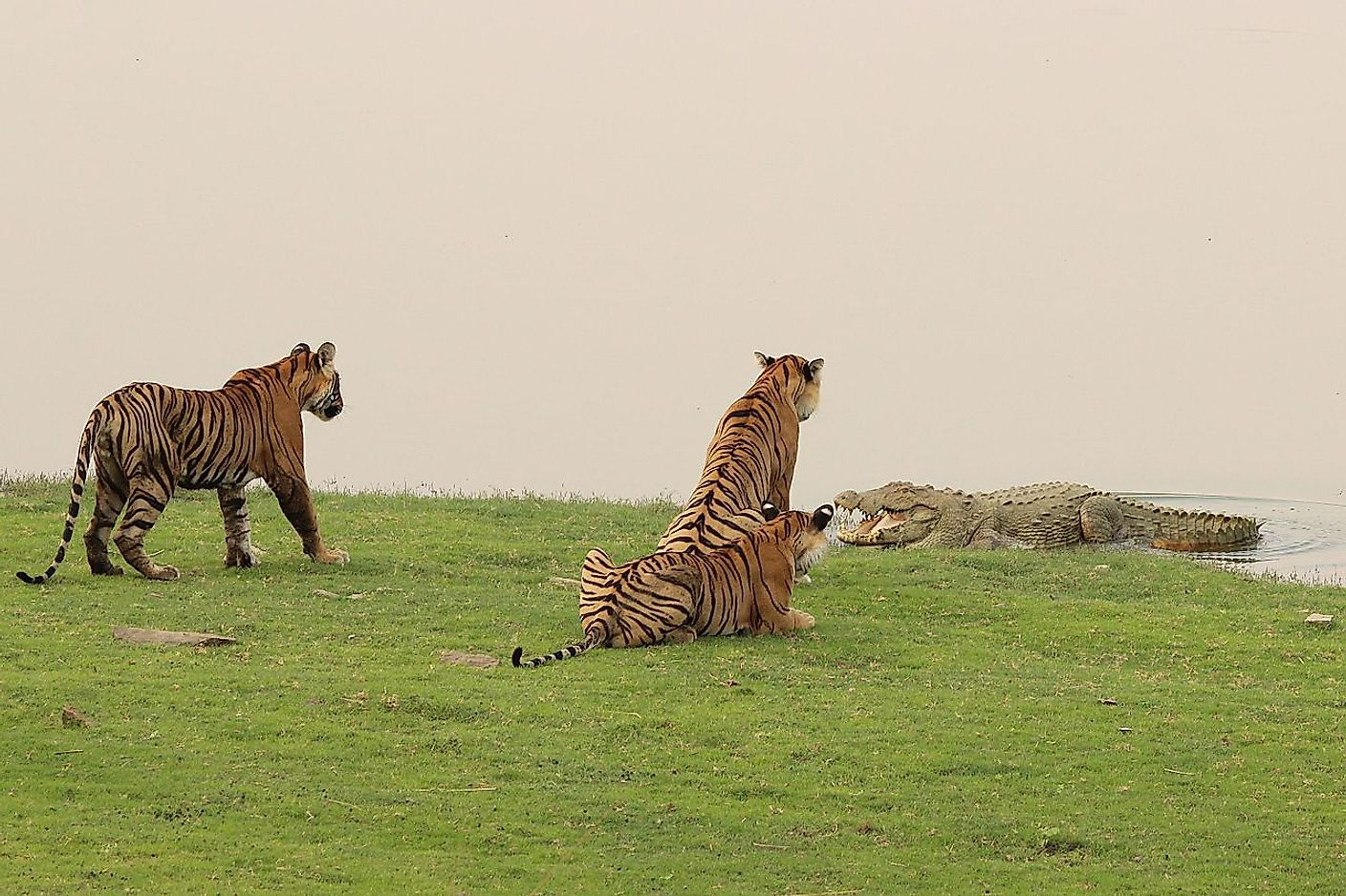 The image shows the confrontation between a crocodile and the fearless tigress T-19 of Ranthambore tiger reserve facing off the croc with two of her cubs on her flanks. Image credit: Vedang Vadalkar/Wikimedia.org