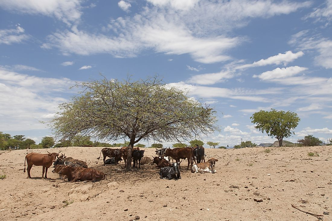 Cattle in Namibia.