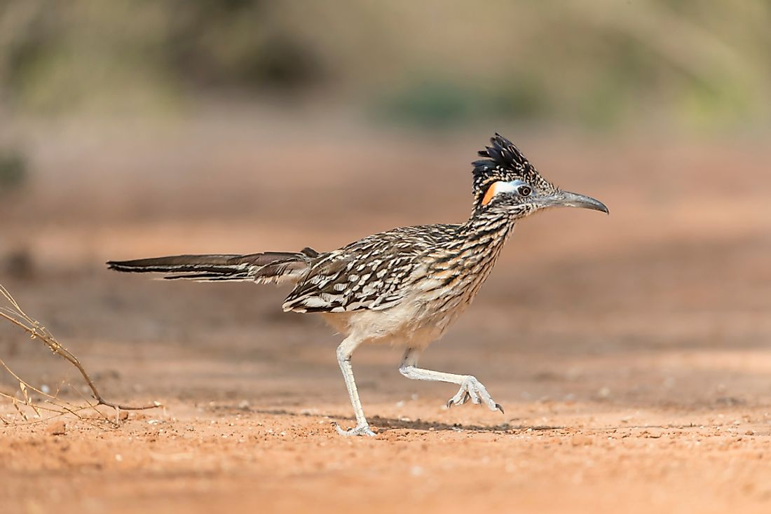 A roadrunner is an example of an animal whose name begins with R.