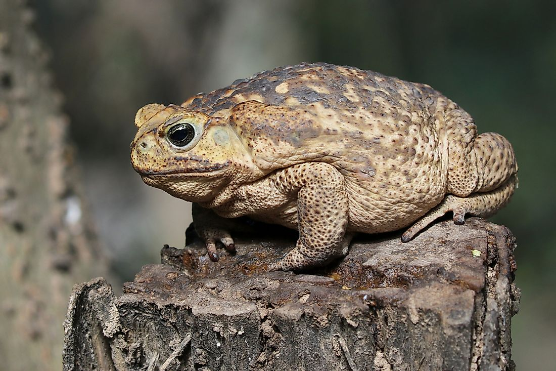 The cane toad is also known as the giant toad due to its large size.