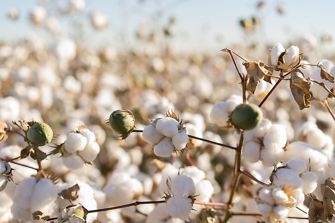 Cotton in full bloom.