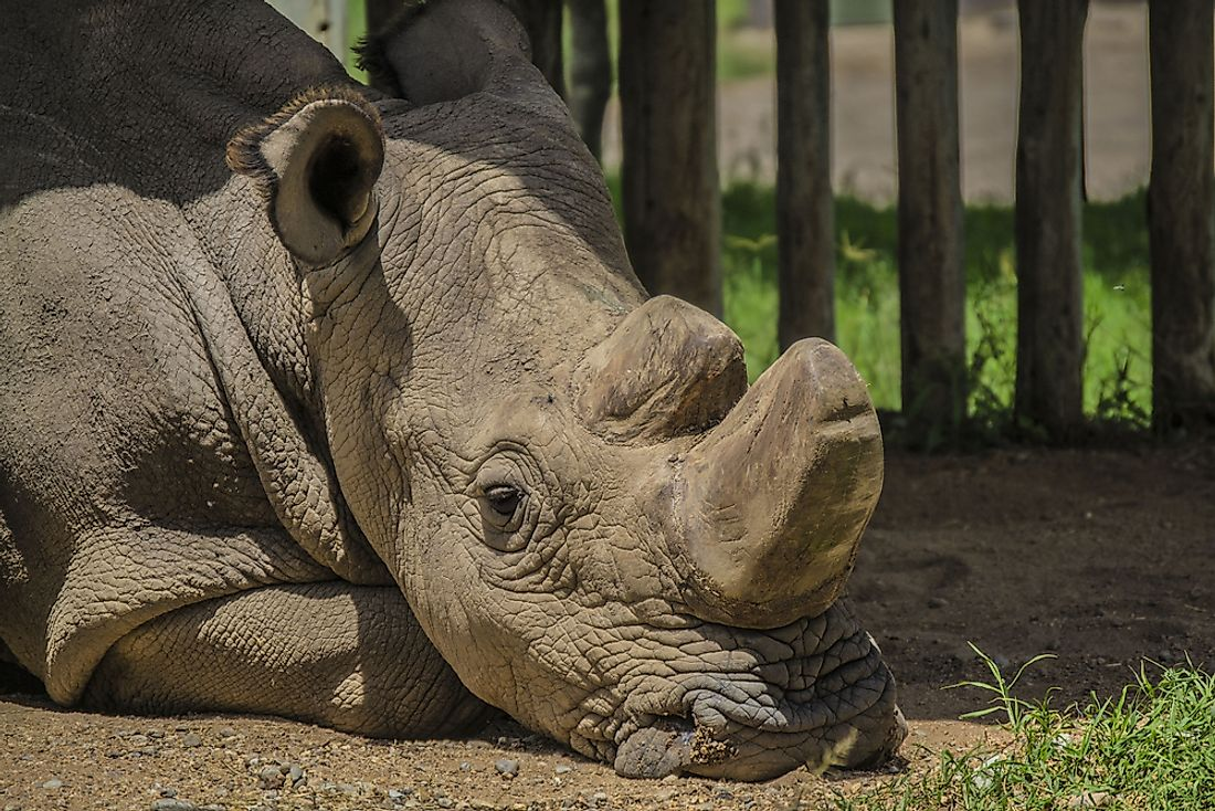 Sudan was the last male northern white rhino.