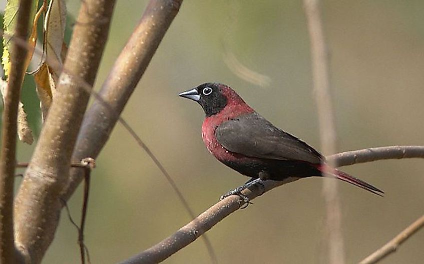 #10 Black-Faced Firefinch