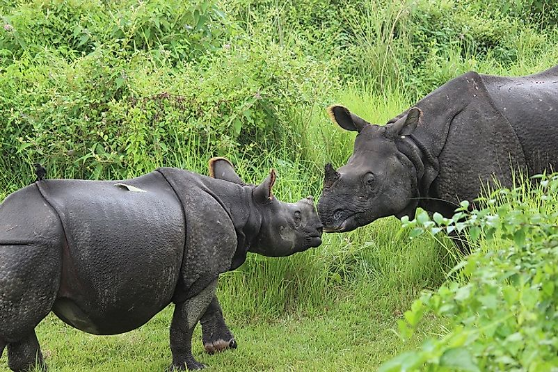 A female Indian rhino and her calf in Nepal's Chitwan National Park.