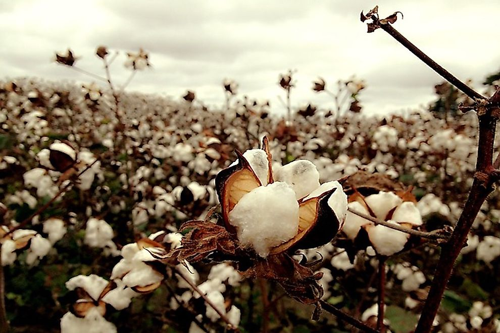 Cotton is an important cash crop grown in India.