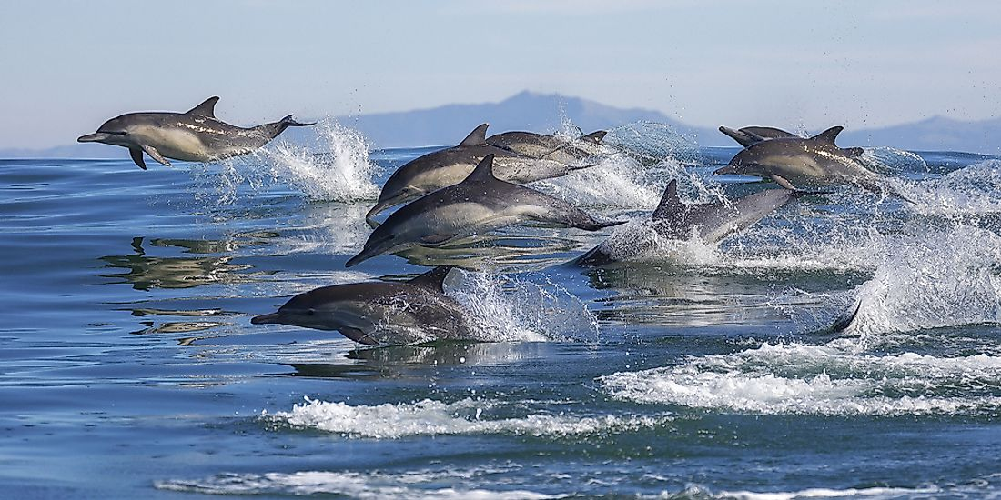 Pod of dolphins leap out of the water.