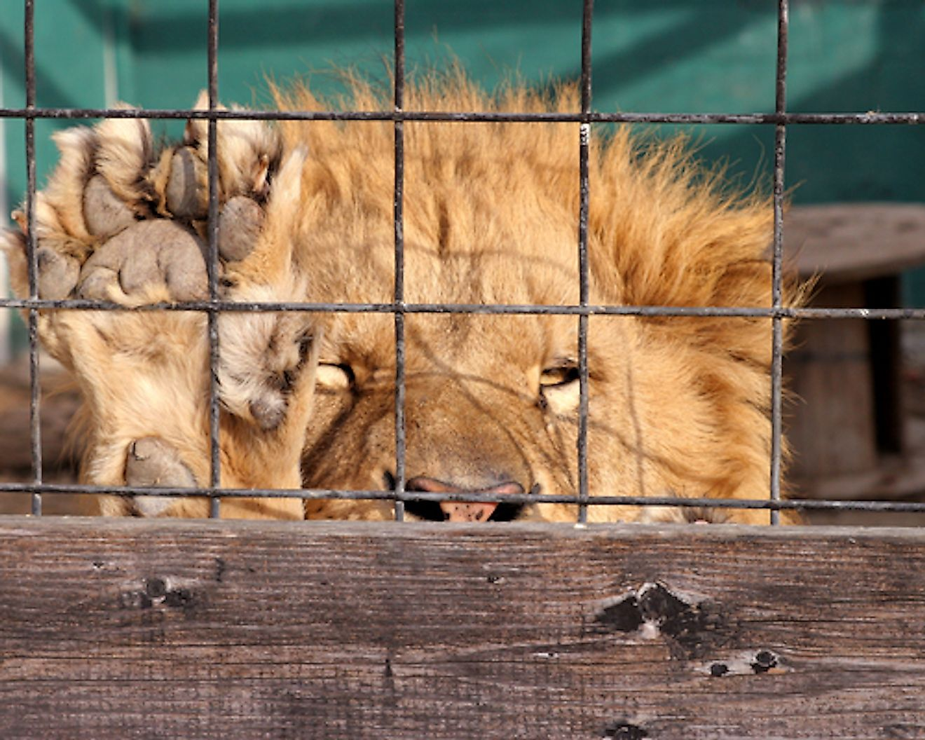 Canned hunting is a cruel sport subjecting animals to a life of misery. Image credit: Beckyeldredge.com