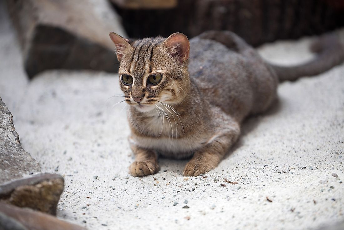 A rusty-spotted cat.