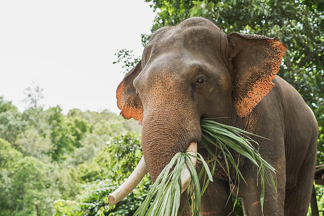 The elephant, the largest terrestrial mammal on Earth, is a herbivore.