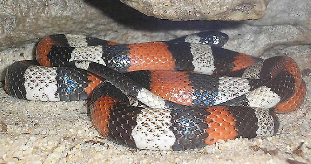 The Ecuadorian Milk Snake is most commonly found in and around forested areas in Ecuador.