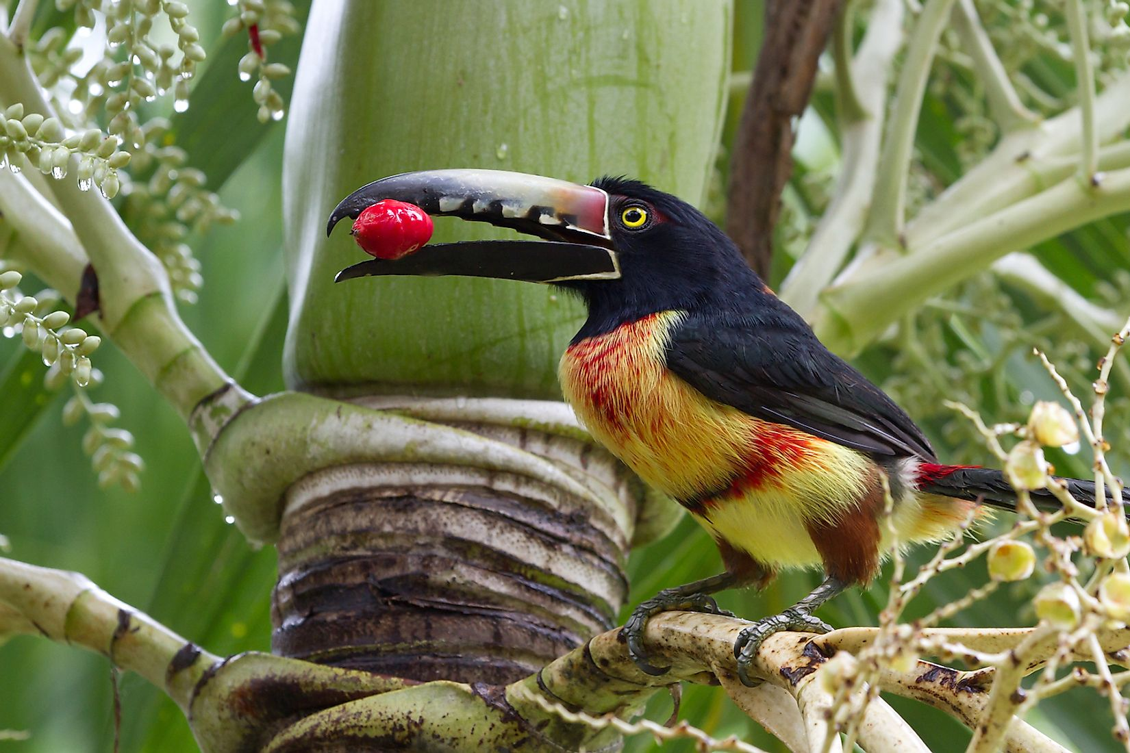 An Aracari toucan in the rain forest of Belize. Image credit: Wollertz/Shutterstock.com