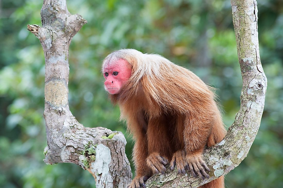 A red or bald-headed uakari in the Brazilian Amazon.
