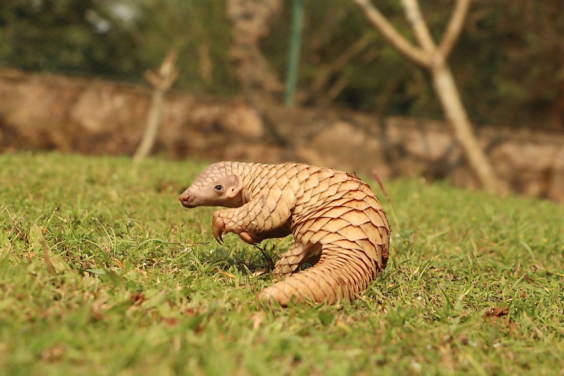 Recently pangolin has also become popular in illegal trades.