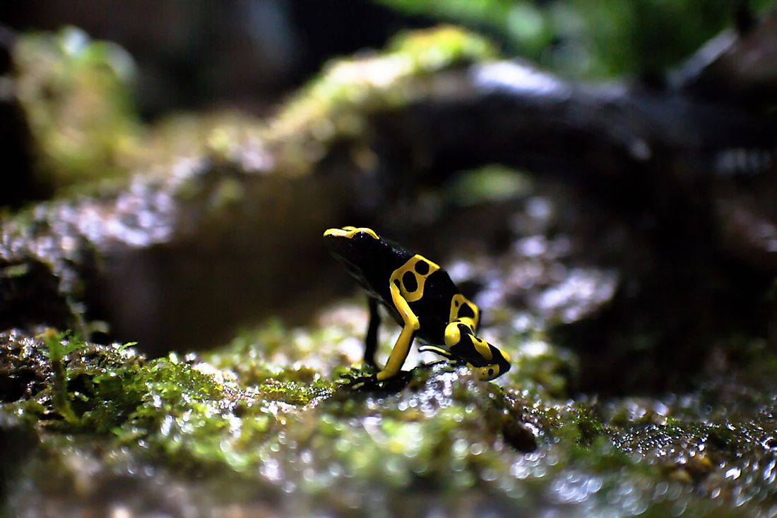 The yellow-banded poison dart frog is native to Venezuela.