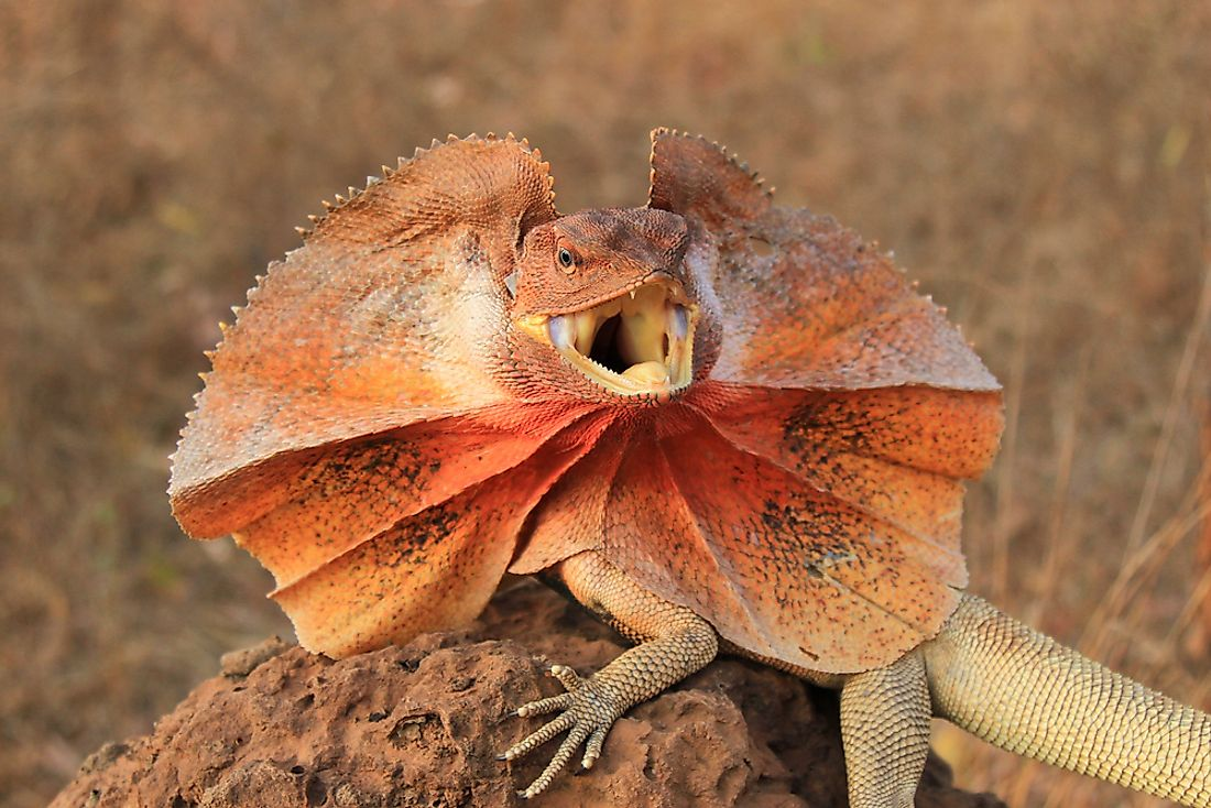 A frilled-neck lizard in the Australian outback.