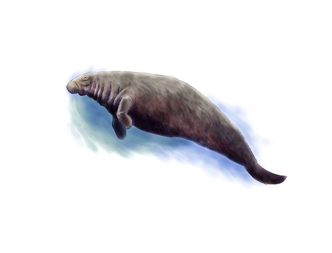 A digital illustration of the now-extinct Steller's sea cow. The Steller's sea cow was an astonishing 10 meters long.