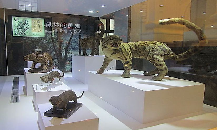 Specimen of the extinct Formosan clouded leopard in the National Taiwan Museum.