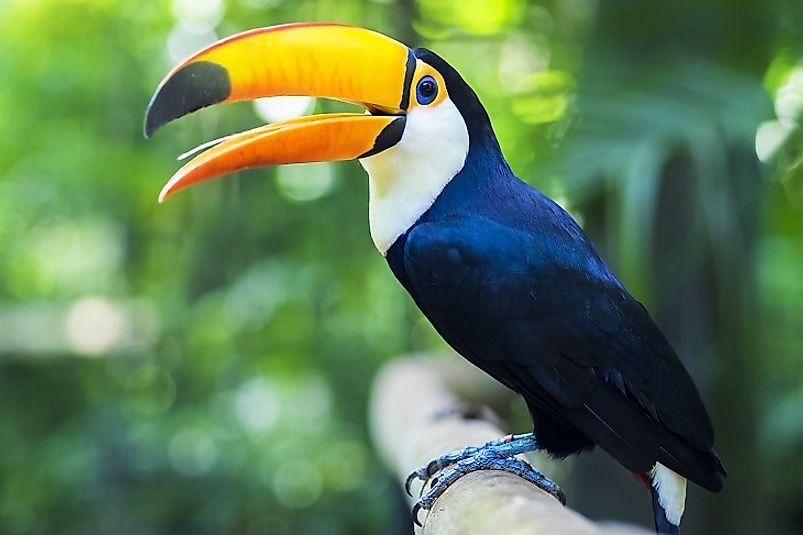 A Toucan perched on a limb in the Amazon rainforest near Foz do Iguacu, Brazil.