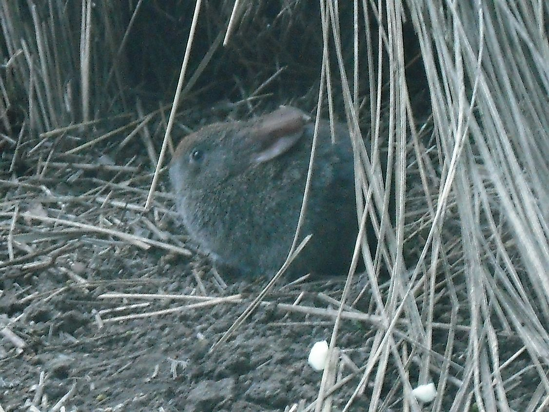 The tiny Volcano rabbit, also known as the zacatuche or teporingo, is an endangered Lagomorph native to Mexico.