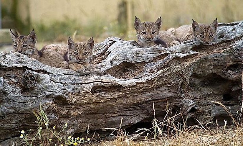 Four Iberian Lynx cubs from the Program Ex-situ Conservation in 2011