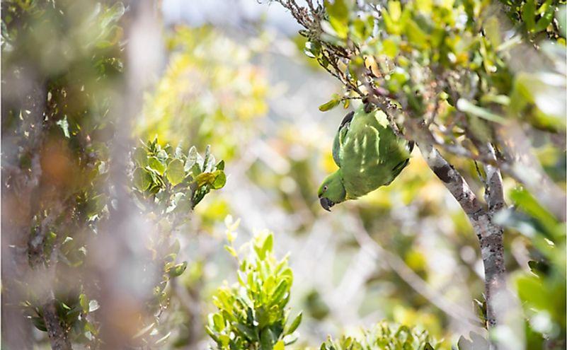 Echo parakeet at Black River Gorges National Park.