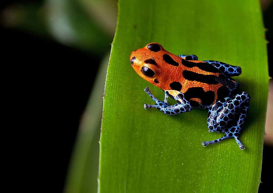 The poison dart frog, found in the Amazon, is one of the world's most dangerous creatures.