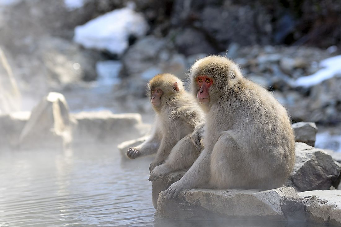 Japanese macaques are known to bath in hots pring pools during the cold winter months.