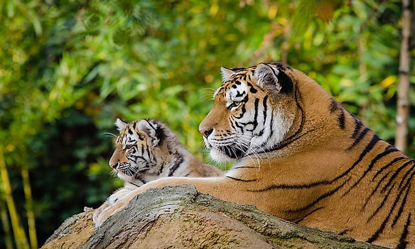 A tiger mother resting on a rock with her cub.