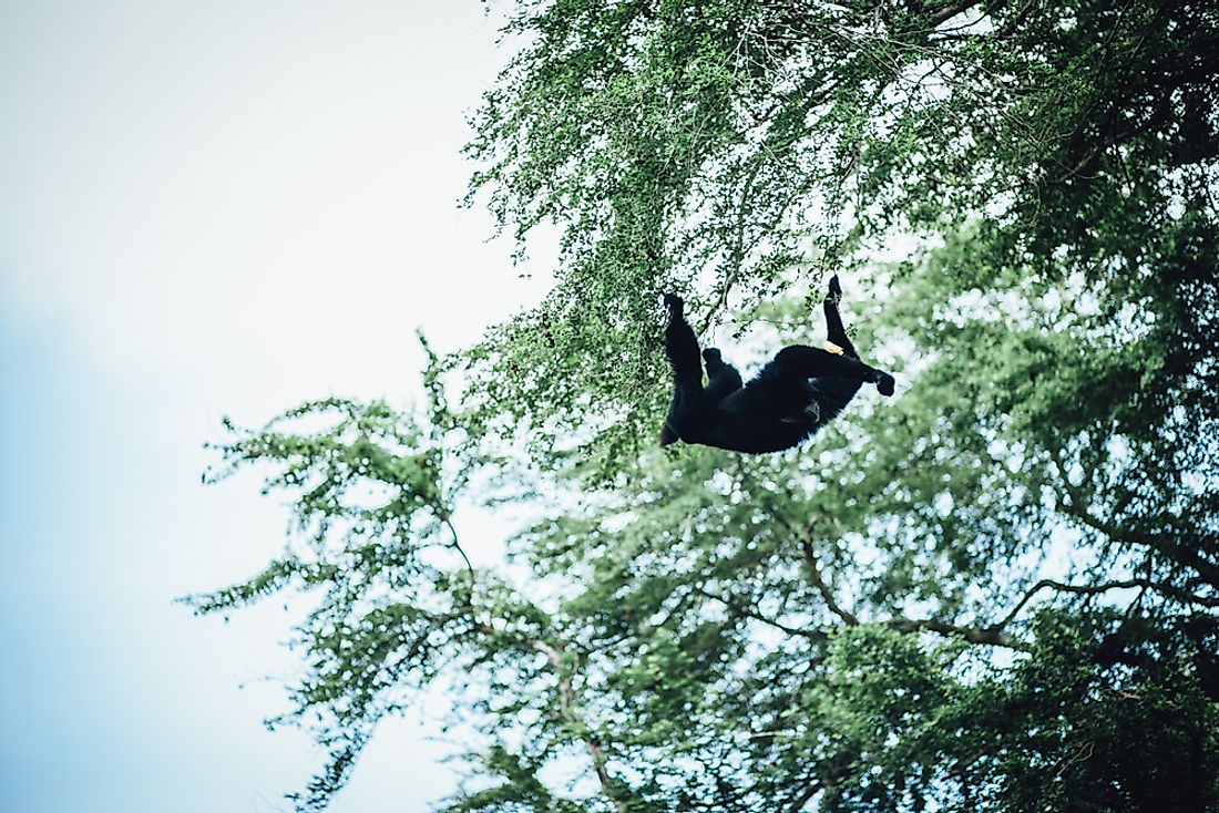 A Howler Monkey in the forests of the Río Plátano Biosphere Reserve.