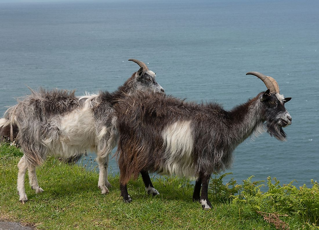 In some places in the world such as Australia, the feral goat is an invasive species.