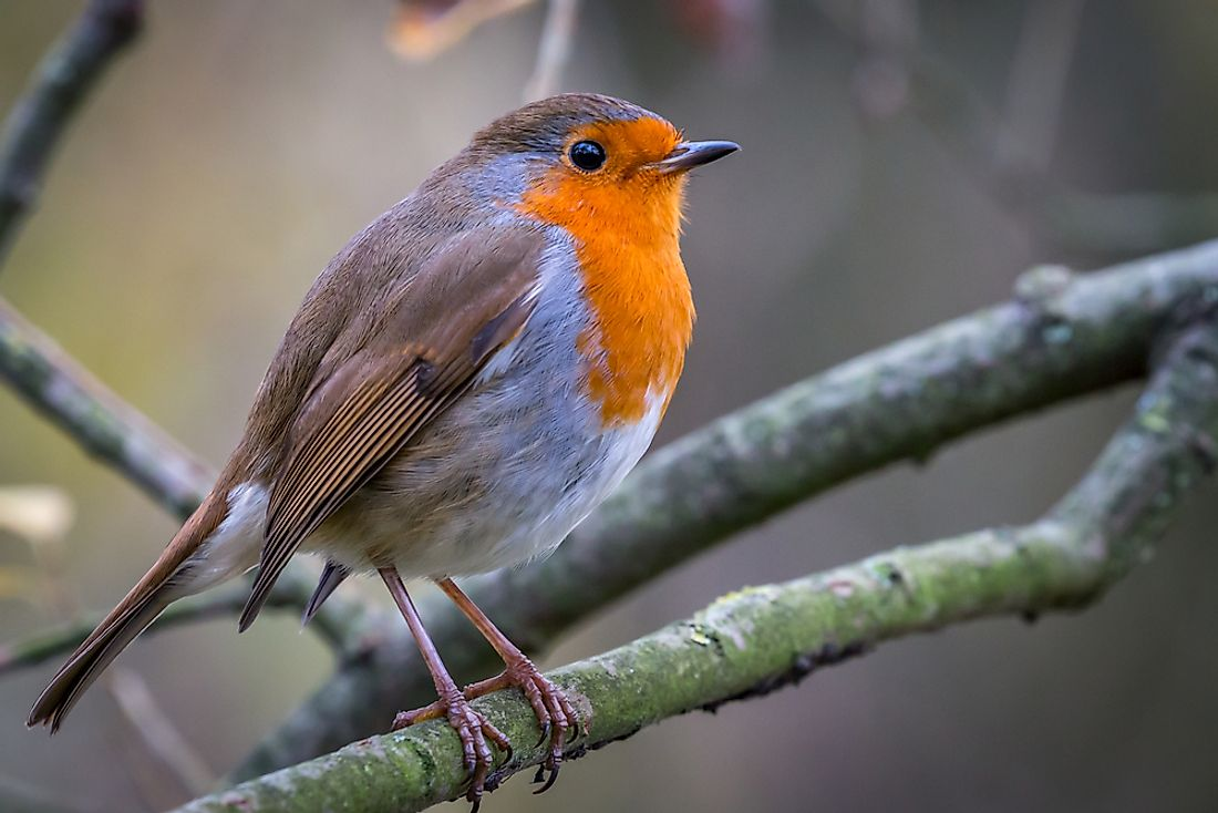 European Robin, more commonly known simply as a Robin, or Robin Redbreast.