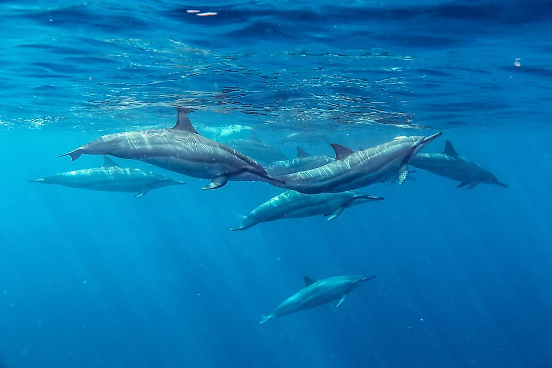 Spinner dolphins swimming in the Indian Ocean.