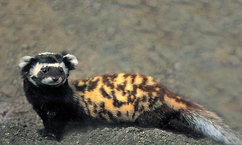 #4 Marbled Polecat -