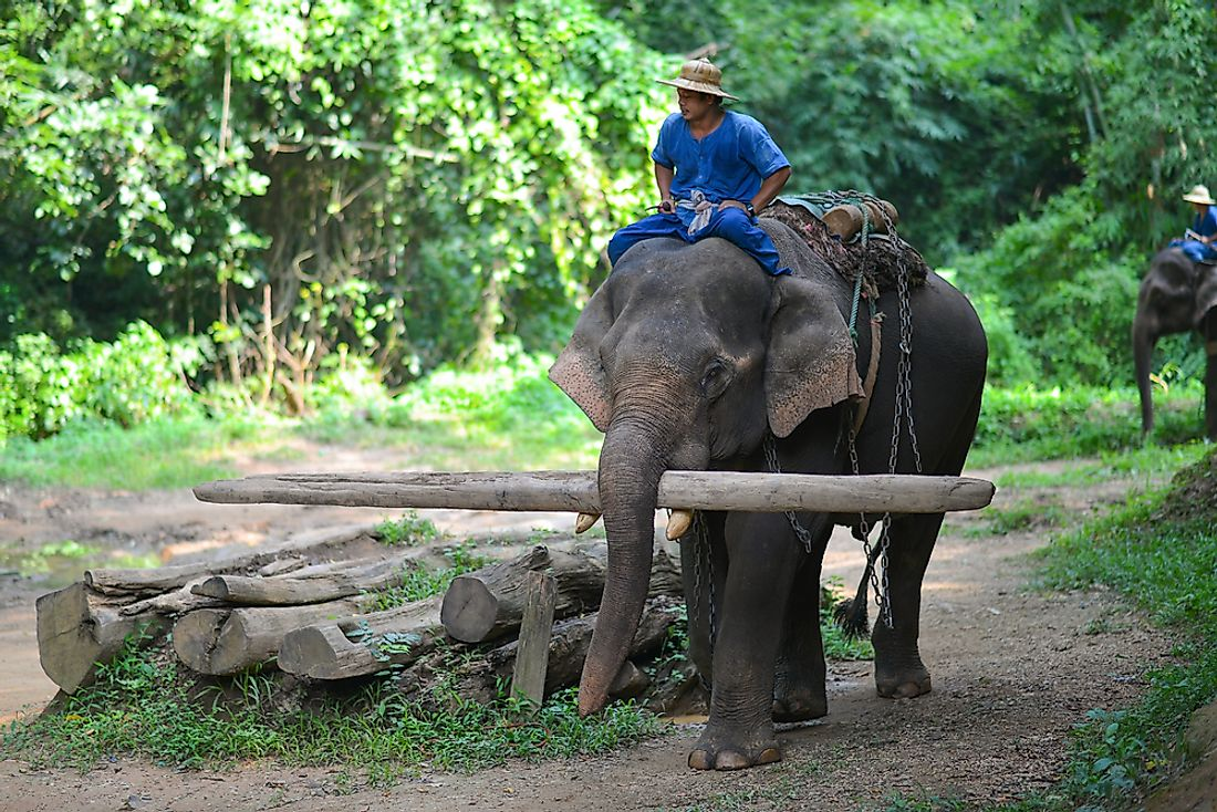 Now an Endangered species, Asian Elephants, such as this one in Thailand, have long been important beasts of burden in Southeast Asia and the Indian subcontinent.