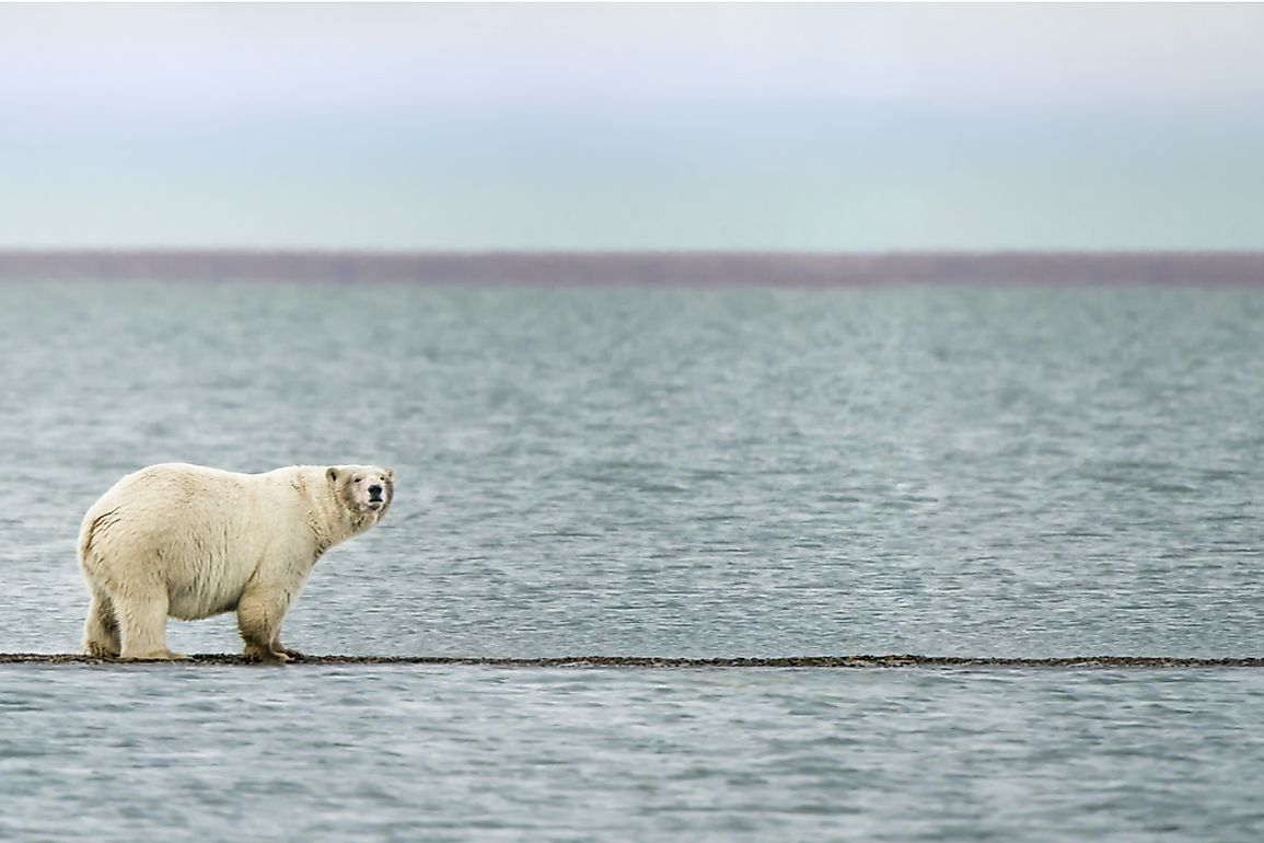 Polar bears are seen along the shores of the Beaufort Sea.