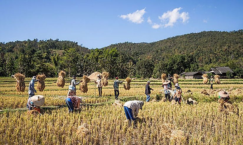 Rice cultivation in Thailand.
