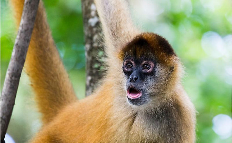 The 15 Species Of Critically Endangered New World Monkeys ...