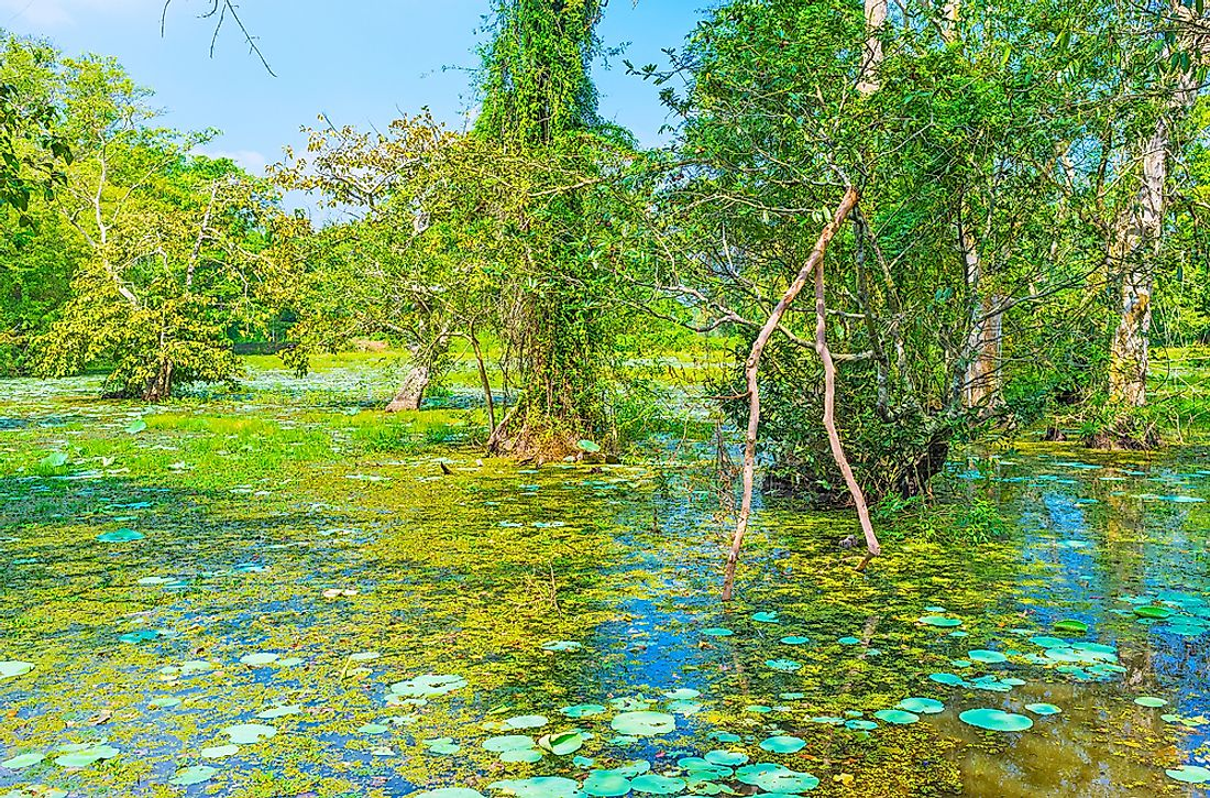A freshwater swamp forest in Sri Lanka.