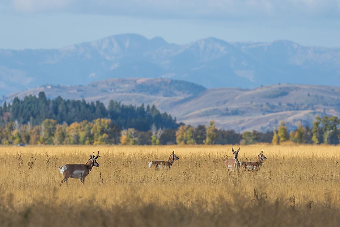 Pronghorns in the grasslands of Wyoming.