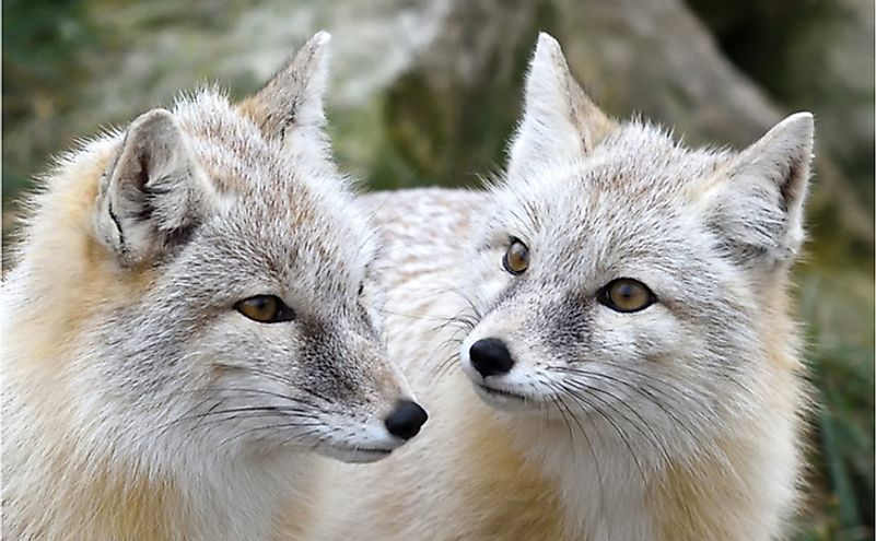 Corsac Fox (Vulpes corsac) is found in Turkmenistan.