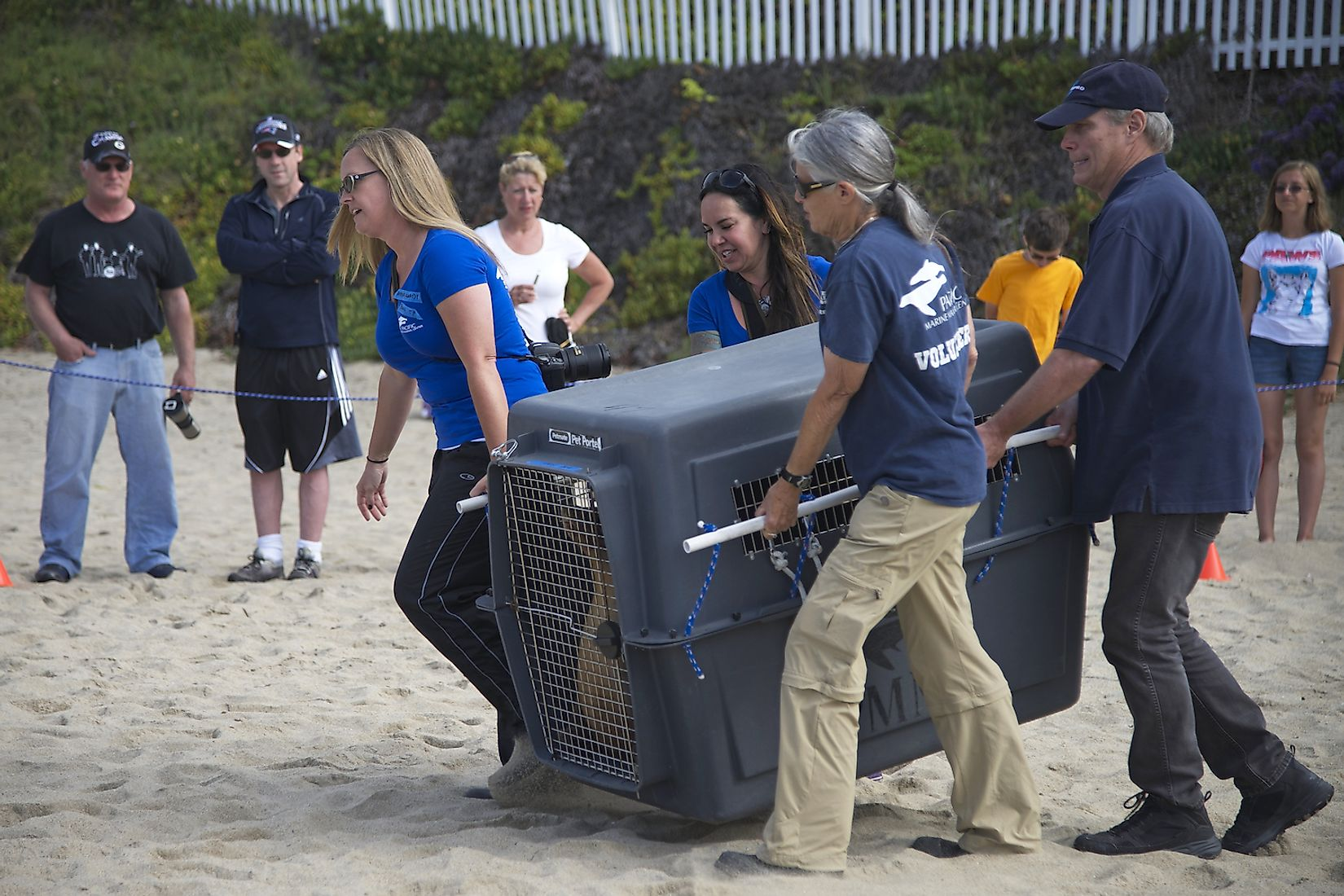 Volunteers from the Pacific Marine Mammal Rescue Center in Laguna Beach assisted with the release of four Sea Lions rehabilitated at the center. Image credit: Sheila Fitzgerald/Shutterstock.com