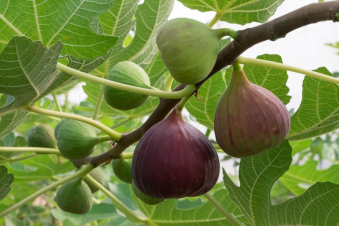Figs have been cultivated for many years in countries of the Middle East and the Mediterranean regions.