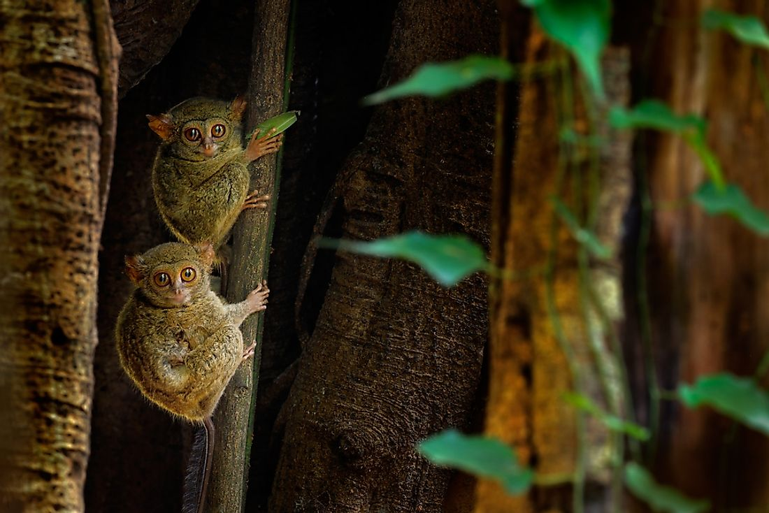 Tarsiers are nocturnal primates that use their large eyes to hunt at night.