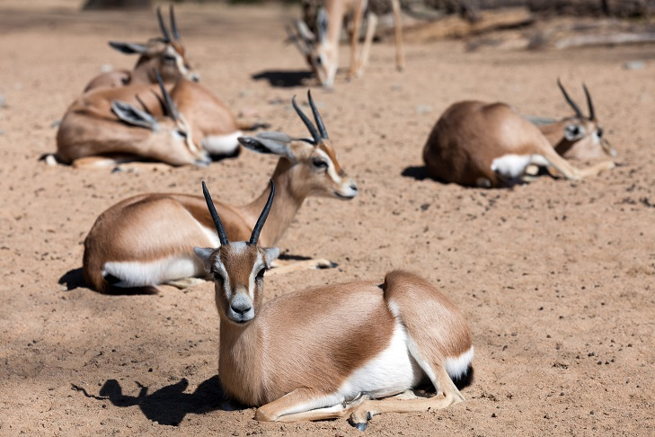 Gazelles rest in the sands of the Yemeni portion of the Arabian Desert.