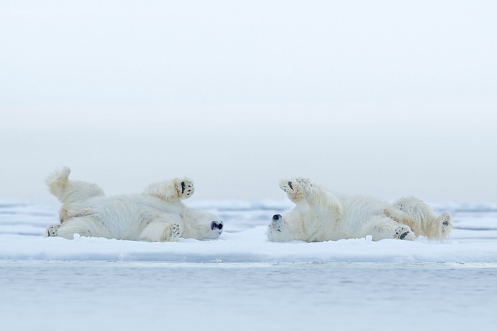 Two playful polar bears on Arctic ice. Image credit: Ondrej Prosicky/Shutterstock.com